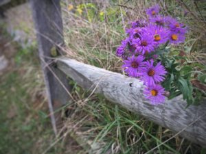 Asters by a weathered fence at Antietam